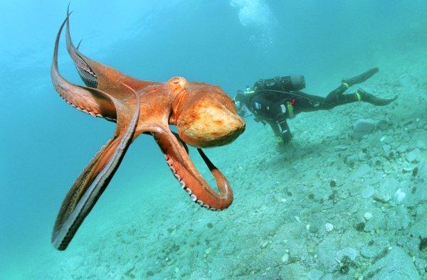 Ученые: Осьминоги используют останки съеденных медуз как оружие