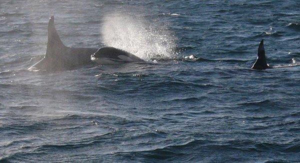 """Ученые научились выявлять заболевания китов по их """"дыханию"""""""