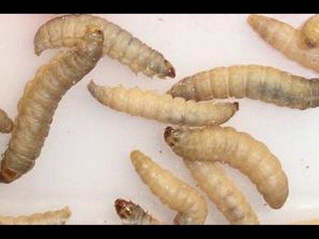 Сражаться сполиэтиленовым мусором будут гусеницы восковой моли