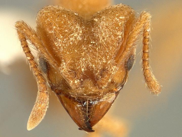 Учёные назвали новый вид муравьёв вчесть Radiohead