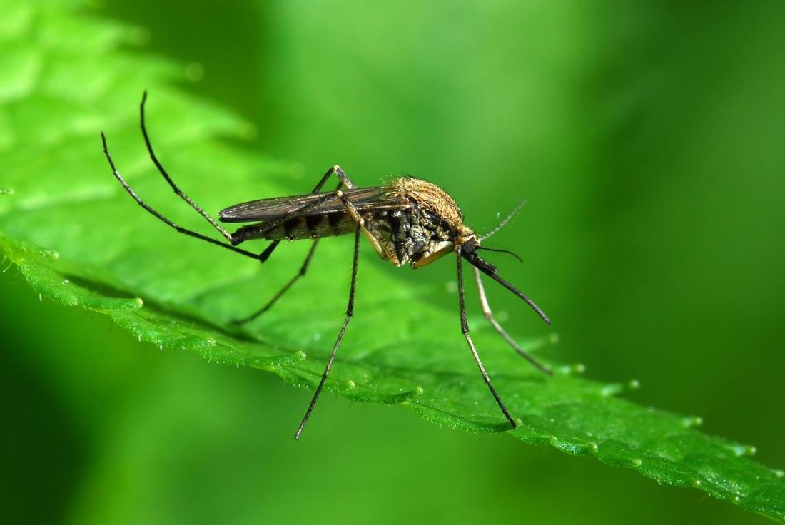 Комары могут непить кровь— Ученые