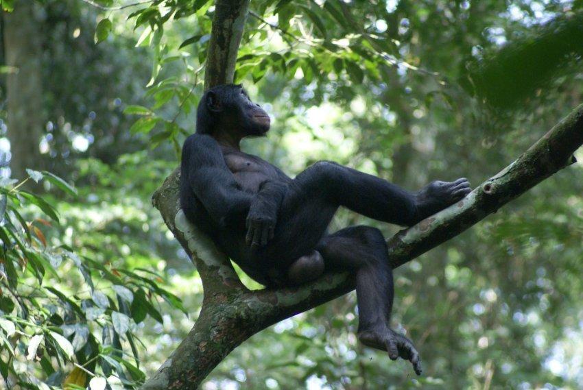 Стало известно, какой вид обезьяны может являться предком человека