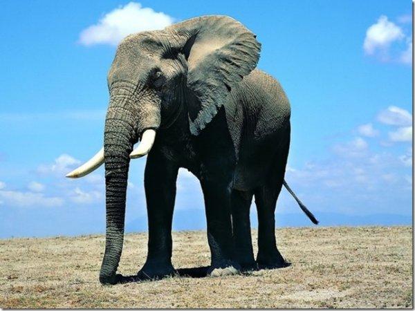 Ученые: Слоны оказались умнее, чем считалось ранее