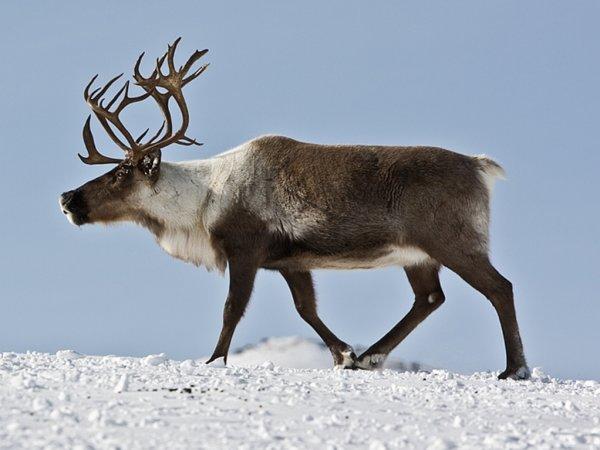 В Сибири массовое уничтожение оленей отследили из космоса