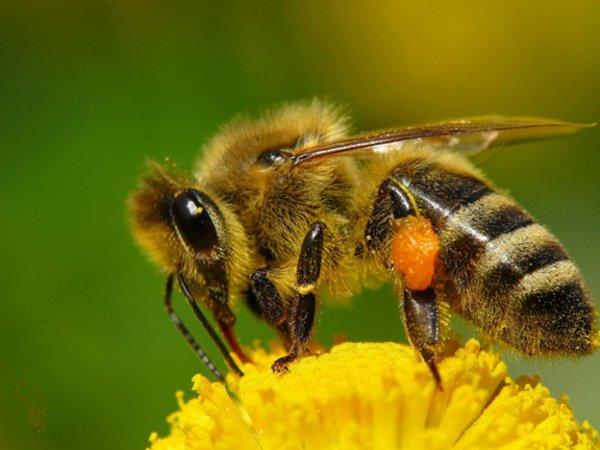 Ученые: Из-за пестицидов медоносные пчелы не могут летать