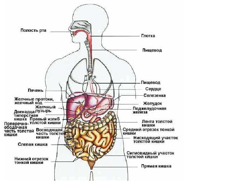 Фото где и какие органы находятся у человека