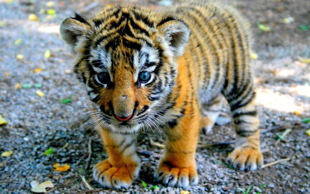 Тигры, выпущенные наволю Путиным, дали потомство