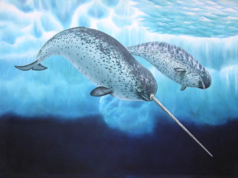 Охоту «морских единорогов» сняли навидео дроны