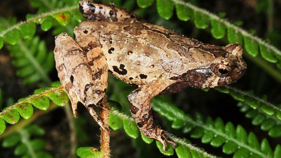 Новый вид лягушек-эльфов обнаружили ввысокогорных лесах Вьетнама