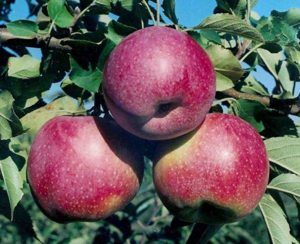 Яблоки уменьшают риск развития сердечных недугов