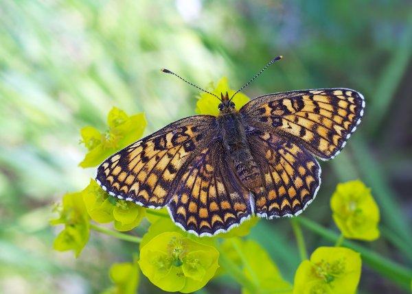 Российские энтомологи открыли новый вид бабочек