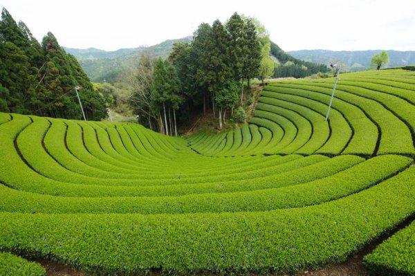 Чайные плантации тяжело переживают глобальное потепление – Ученые