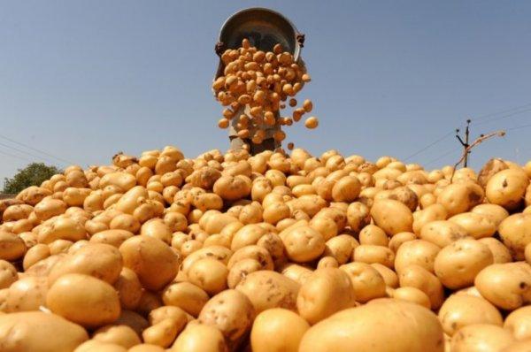 Ученые: Картофель не вызывает ожирение, а помогает похудеть