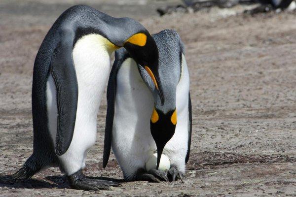 Ученые: Самки пингвинов могут заниматься проституцией