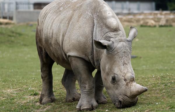 Северного белого носорога зарегистрировали на сайте знакомств Tinder
