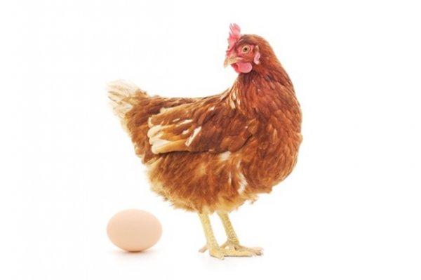 Ученые уверены, что яйцо появилось раньше курицы