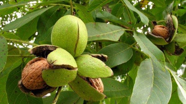 Грецкие орехи избавят от слепоты - Ученые