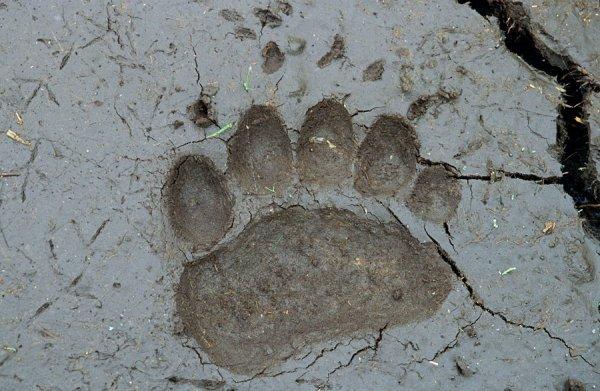 Ученые создали инструмент, определяющий вид животного по его следам