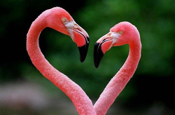 Ученые: Цвет оперения розовых фламинго зависит от их пищи