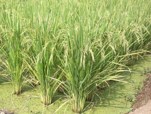 Учёные: Выращивание риса китайцами началось больше 10 тыс. лет назад