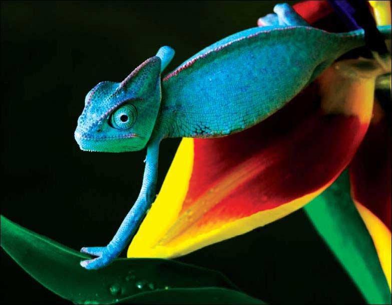 ВАфрике отыскали новые виды хамелеонов