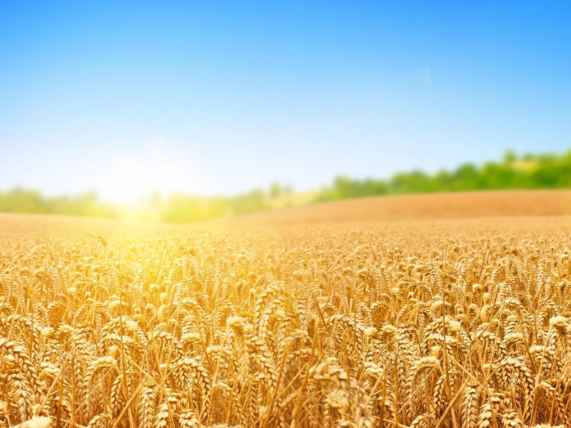 Ученые Российской Федерации иКазахстана выявили устойчивые кзасухе виды дикорастущей пшеницы