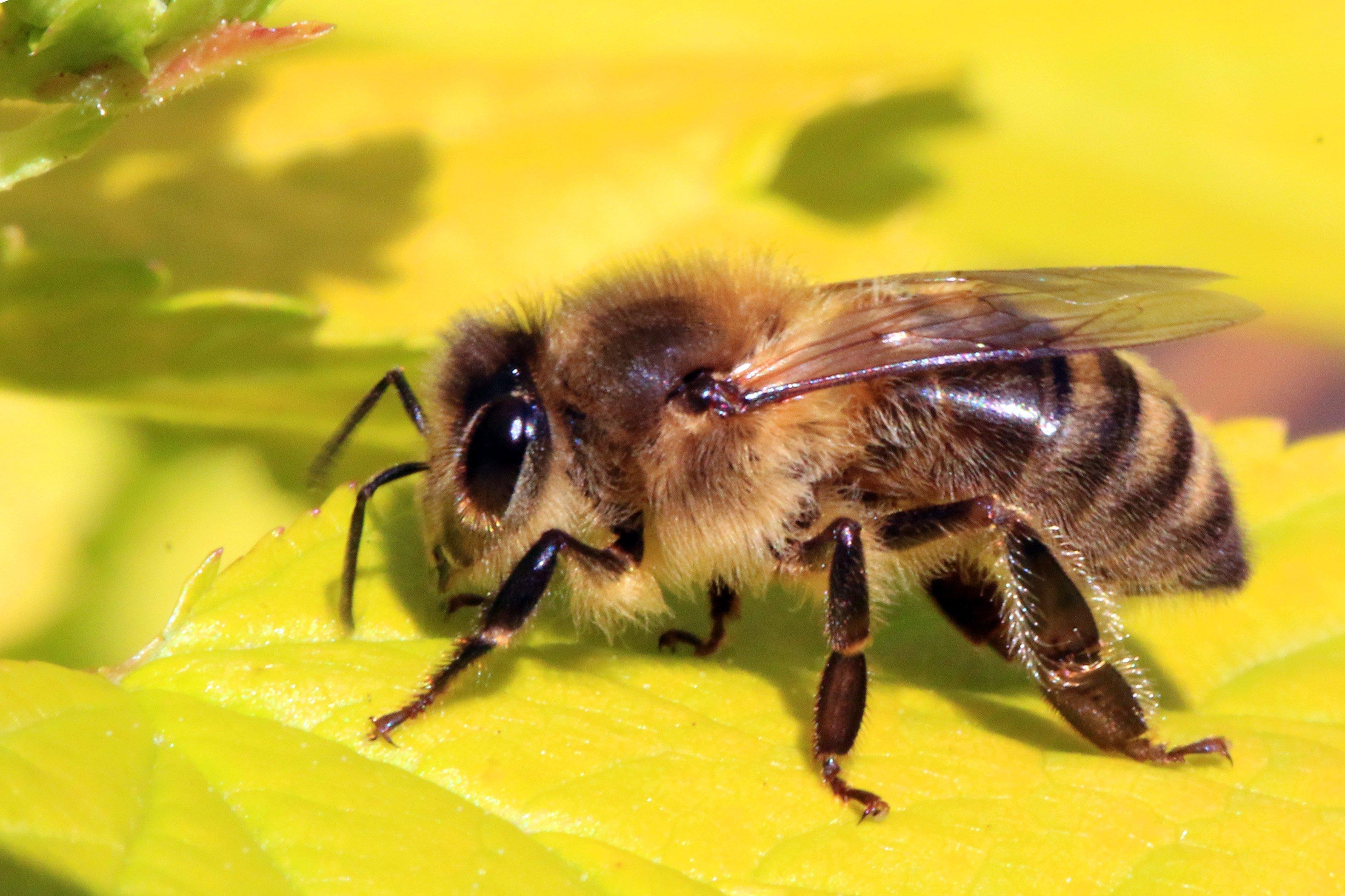 русская пчела картинки хотите украсить гостиную