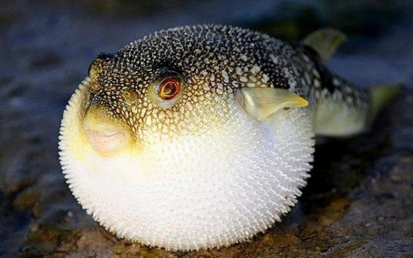 Гены, кодирующие рост новых зубов у человека, найдены у рыбы Фугу - Ученые