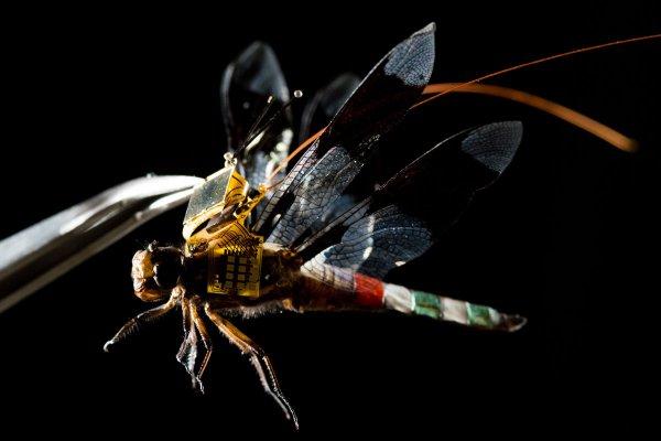 Ученые создали стрекозу-киборга на дистанционном управлении