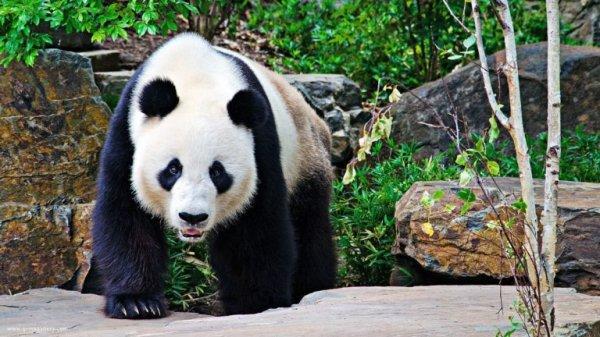 В Китае умерла одна из самых старых самок панды