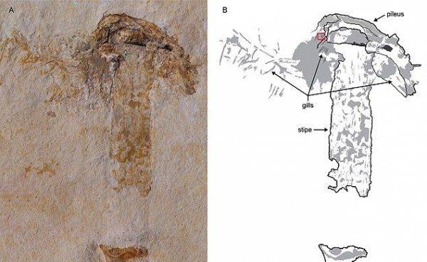В Бразилии найден самый древний на планете гриб