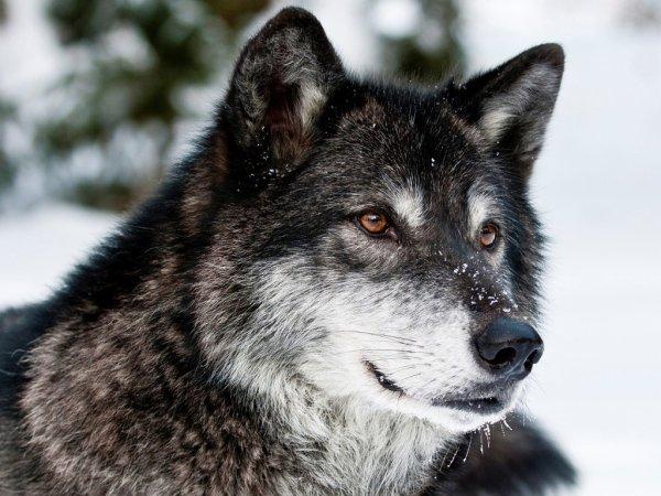 У собак и волков найден «ген справедливости»