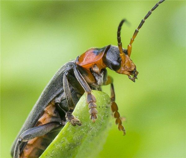 Мертвые мягкотелки привлекают к спариванию здоровых самцов