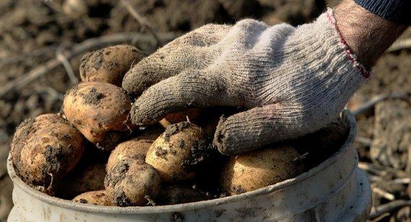 Китайские ученые намерены выращивать на Луне картофель