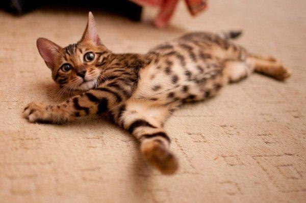 Ученые узнали, какой народ первым приручил диких кошек