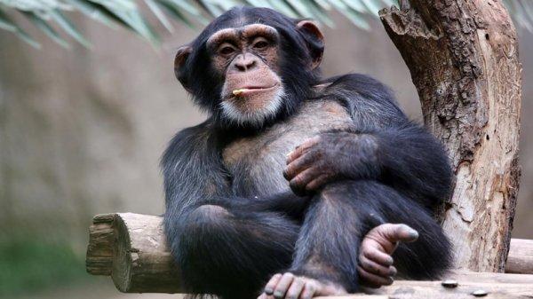 Шимпанзе в присутствии людей меняют тактику охоты – Ученые