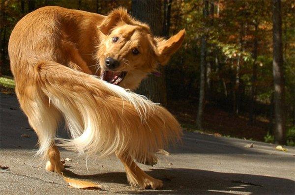 Ученые: Погоня собаки за хвостом может означать расстройство психики