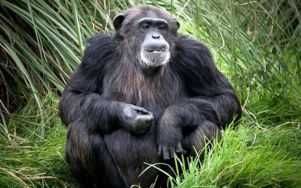 Шимпанзе превосходят человека по силе в 1,35 раза - Ученые
