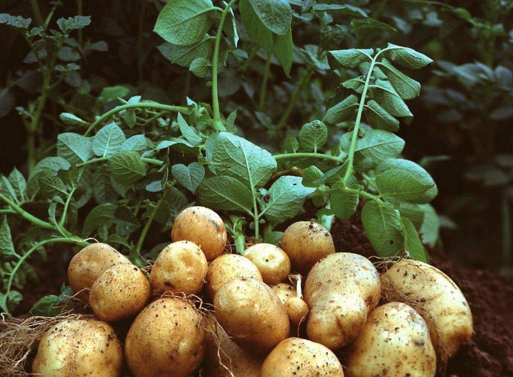 Подскажите сроки посадки картофеля в Московской области