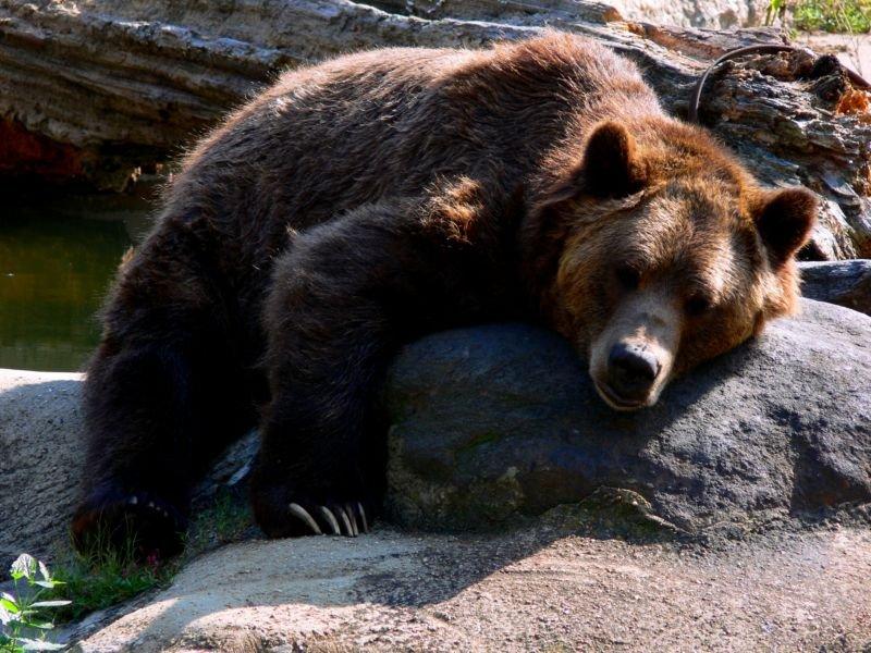Время «развода» белых ибурых медведей установили ученыеСО РАН