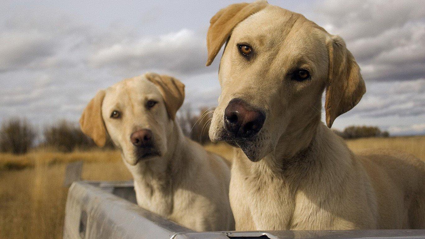 В КНР впервый раз вывели генномодифицированную клонированную собаку