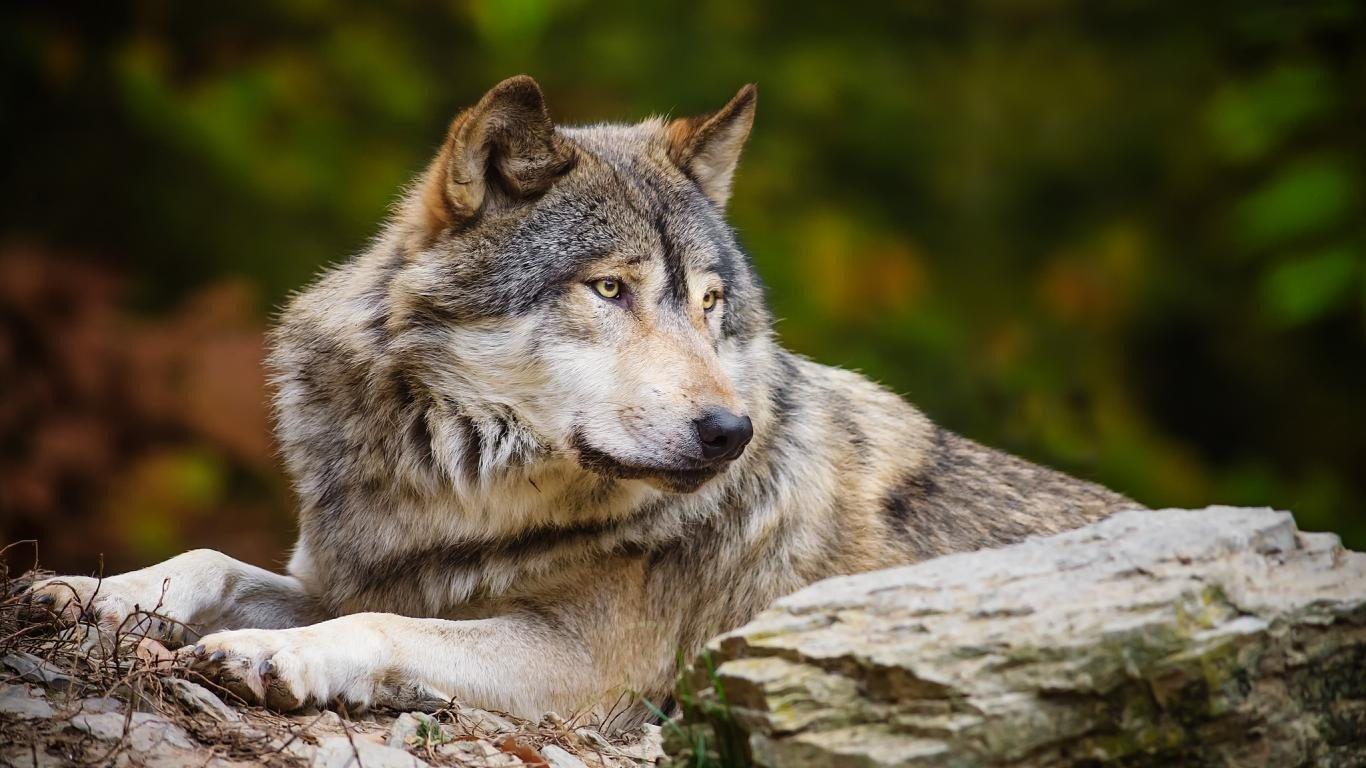 ВРостовской области местный гражданин подвергся нападению бешеного волка