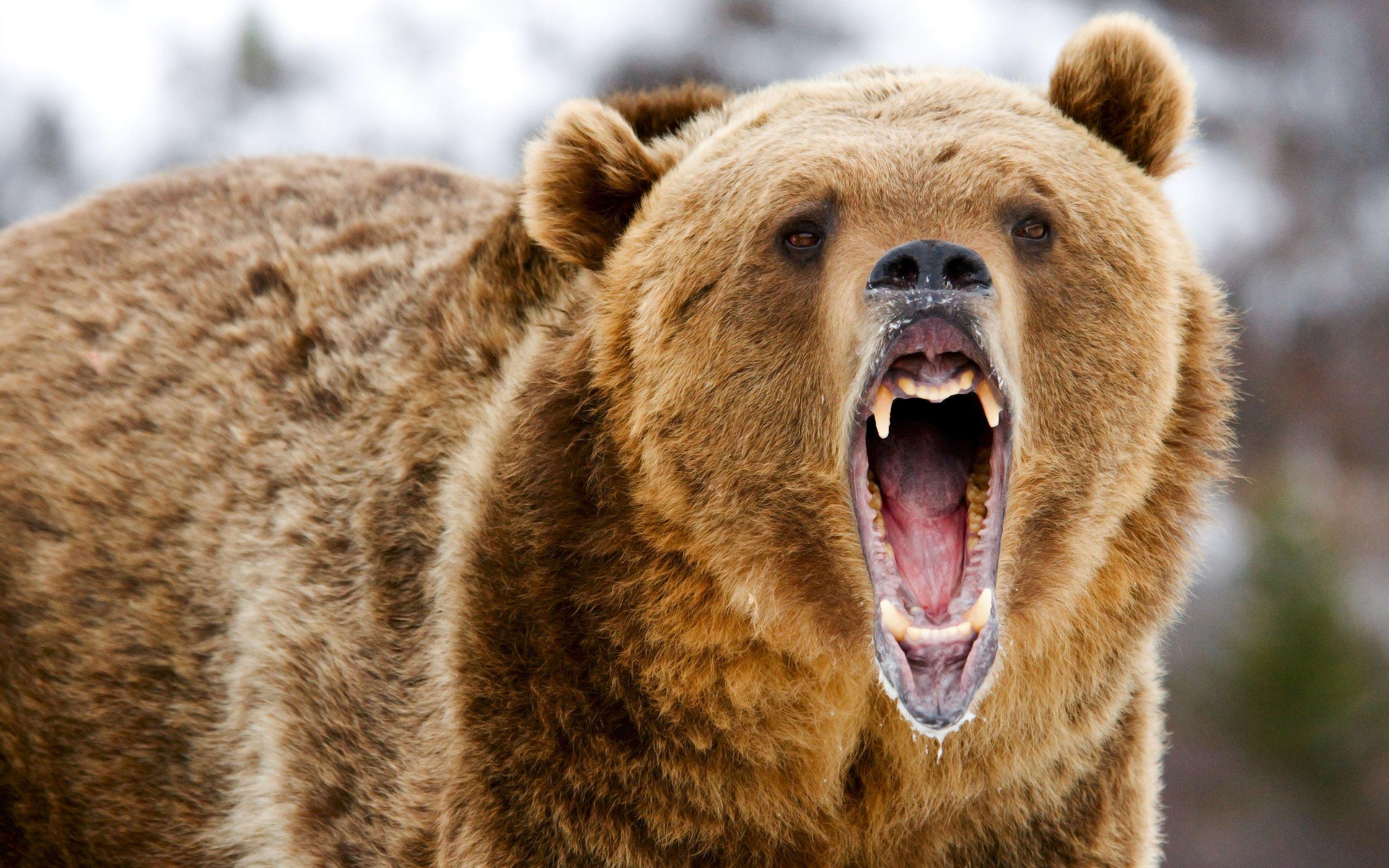 2-х  медведей убили  вПетропавловске-Камчатском