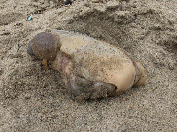 На курортном пляже в Малибу обнаружено морское чудовище