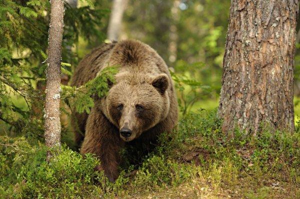 Кенийскому марафонцу удалось убежать от двух медведей во время тренировки в США