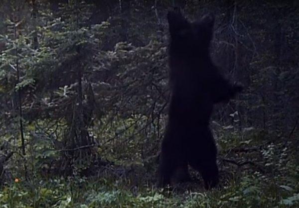 Танцующий красноярский медведь стал звездой YouTube