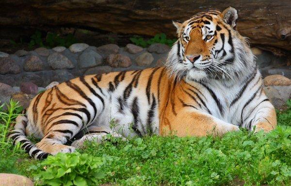 В Хабаровском крае проведут праздник в честь Международного дня тигра