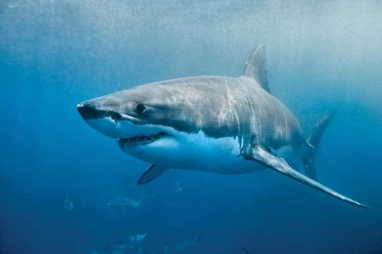 ВЕгипте человека атаковала белая акула