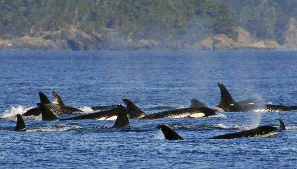 На Чукотке проведут исследование китообразных