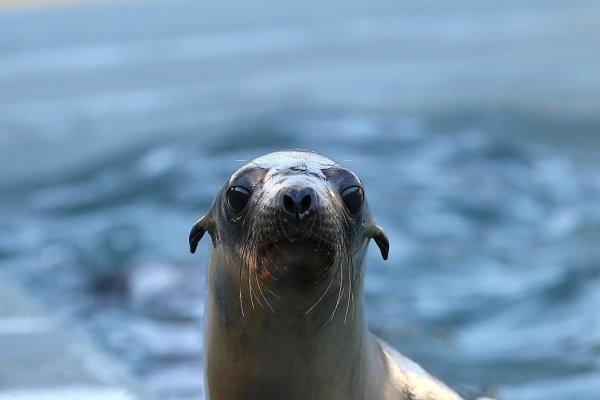 У берегов Калифорнии токсичные водоросли отравляют морских львов